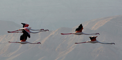 Flamingos in the Arava Valley