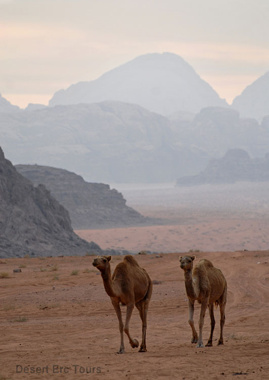 Camel tours in Wadi Rum from Eilat
