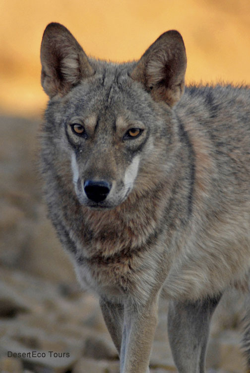 Eilat jeep tours: A Wolf in the Eilat Mts.