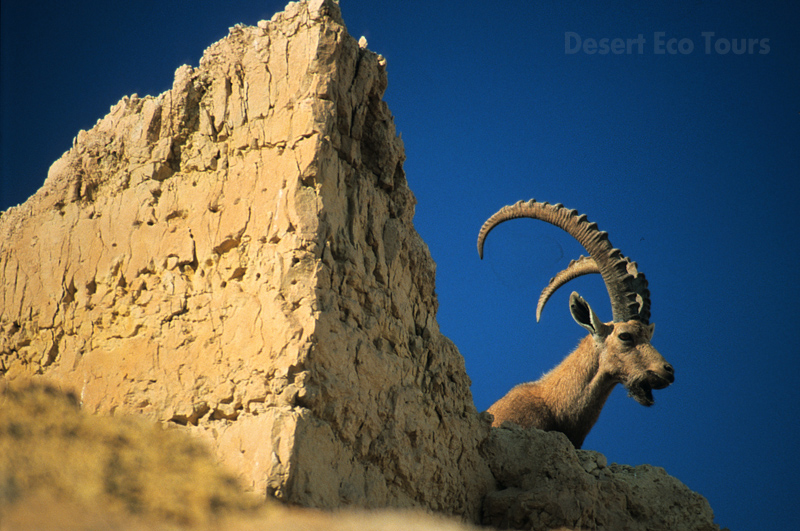 Wild life (Ibex) of the Negev desert- Israel