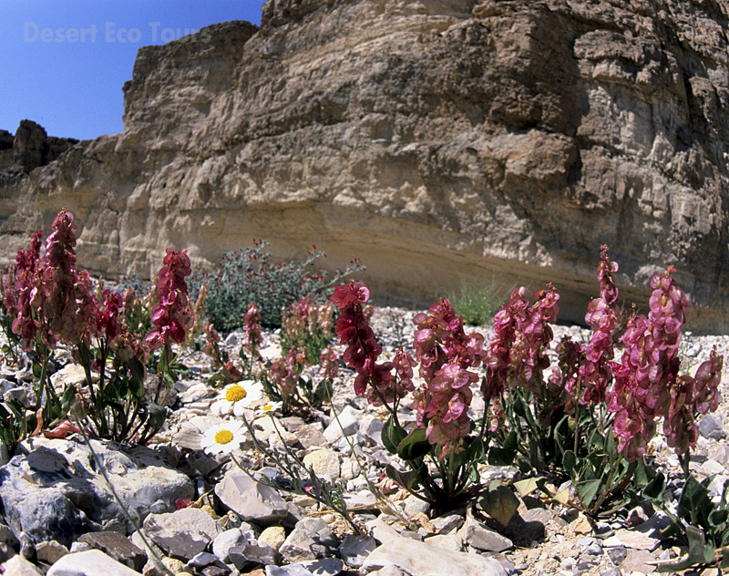 Spring in Ramon Crater- Mitzpe Ramon tours