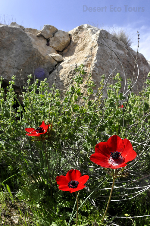 Spring in the Negev desert- Israel