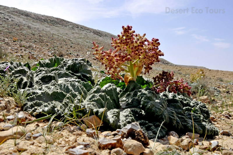 Spring in the Negev desert